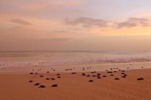 Junge Schildköten am Strand der Insel Boa Vista