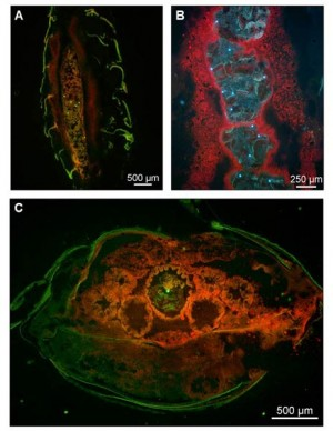 Mikroplastik-Partikel in einer Meeresassel