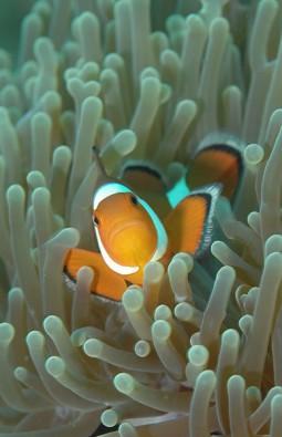 Anemonenfisch, © Frank Schneider
