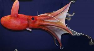 Vampir-Tintenfisch