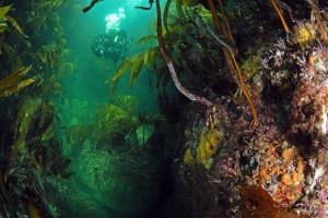 Kelpwälder, Foto: @ Christian Skauge