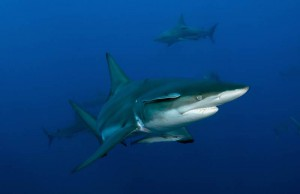 Haie vor Mosambik