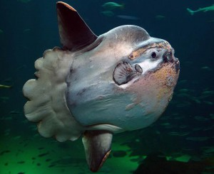 Mondfisch, Foto: © Per Ola Norman/Archiv Taucher.Net