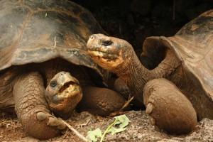 Schildkröten in der Charles Darwin Forschungsstation