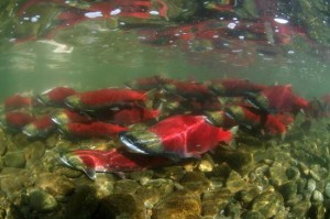 """Salmon Run"" in Alaska"