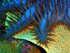 Ein Dornenkronenseestern auf einer Koralle,