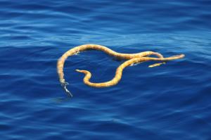 Kurznasige Seeschlangen