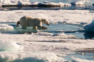 Eisbär auf dem arktischen Meereis