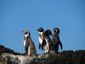 Humboldt-Pinguine