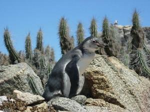 Juveniler Humboldt-Pinguin