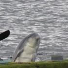 Delphin in der Flensburger Förde