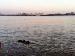 Schweinswale in der Elbe