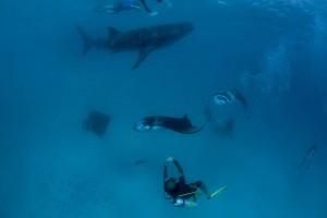Tauchgang mit Walhai und Mantas