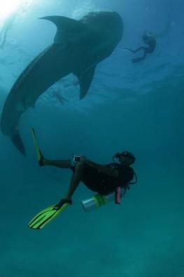 Tauchgang mit Walhai