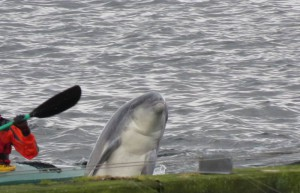 Delphin in der Ostsee