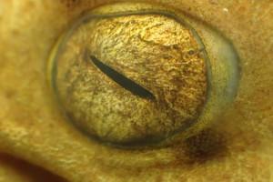 Auge des Epaulettenhais