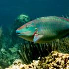 Stoplicht-Pagageienfisch
