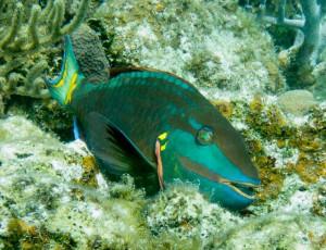 Stoplicht-Papageienfisch
