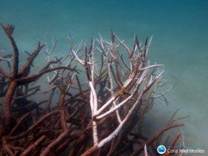 Tote und im Sterben begriffene Hirschgeweihkoralle