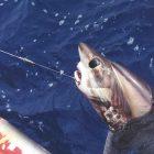 Fuchshai als Beifang