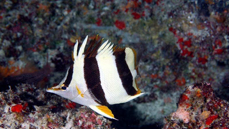 Falterfisch Prognathodes basabei