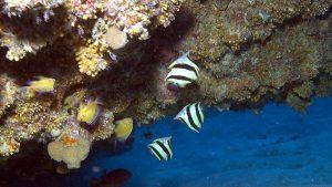 Falterfische Prognathodes basabei
