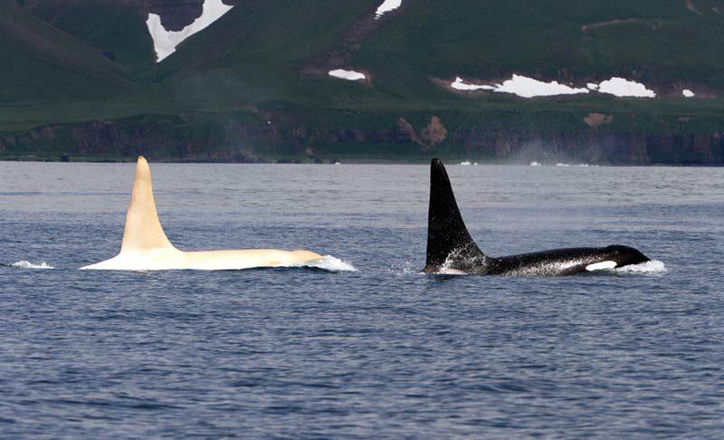 Weißer Orca