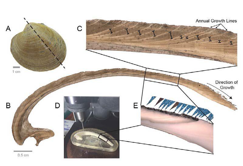 Untersuchungen an den Islandmuscheln und Details