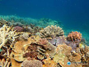 Gesunde Korallen im südlichen Teil des Great Barrier Riffs
