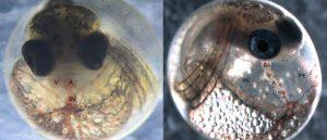 Killifisch-Embryos