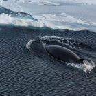 Antarktischer Zwergwal