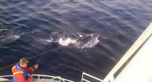 Norwegischer Walfang
