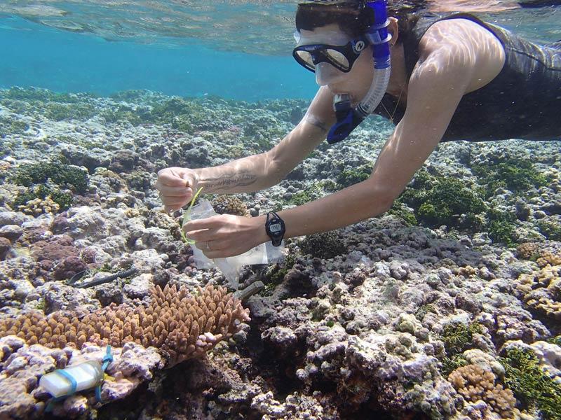 Entnahme einer Korallenprobe