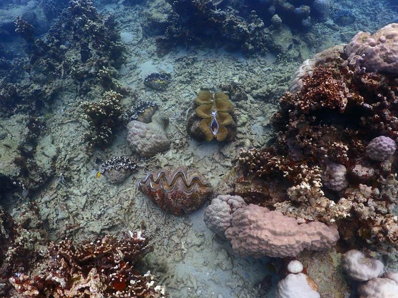 Riesenmuschel-Kolonie
