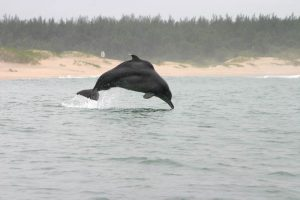 Bleifarbener Delphin