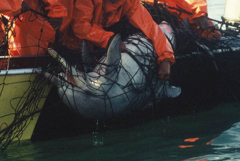 Bleifarbener Delphin im Hainetz