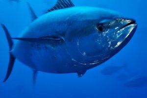 Atlantischer Blauflossenthunfisch