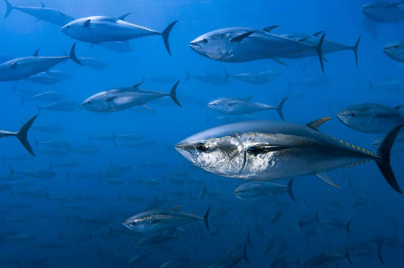Nördlicher Blauflossenthunfisch