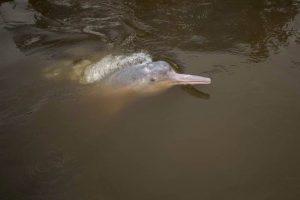 Amazonasdelphin