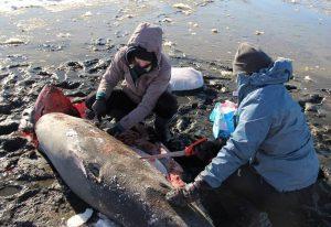 Untersuchung eines erfrorenen Fuchshais