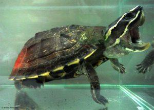 Schneckenfresser-Schildkröte