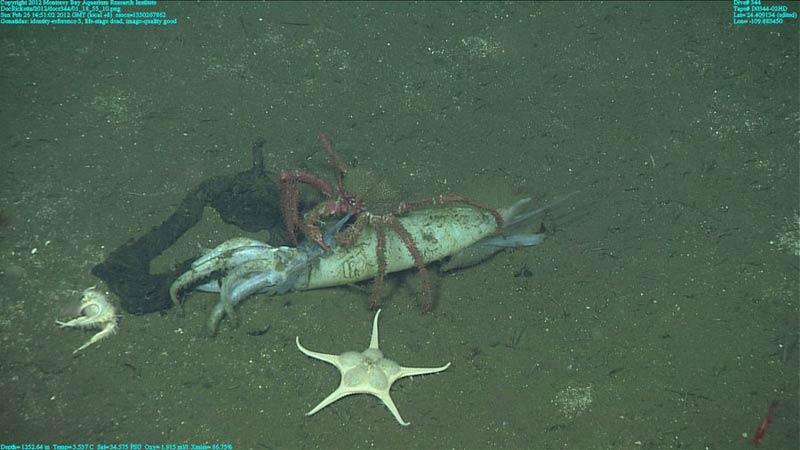 Tote Kalmare im Golf von Kalifornien