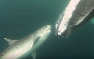Hai, Screenshot YouTube BarcroftTV