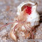 Candy Cane Crab